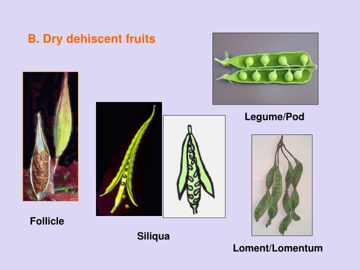 B. Dry dehiscent fruits