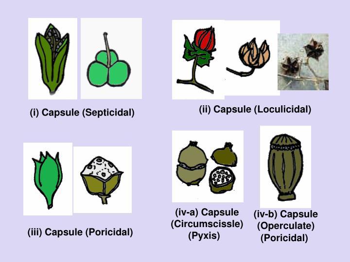 (ii) Capsule (Loculicidal)