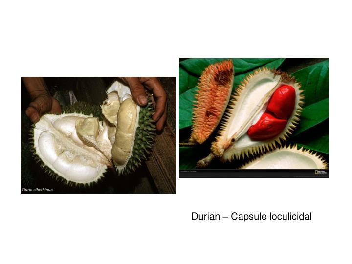 Durian – Capsule loculicidal