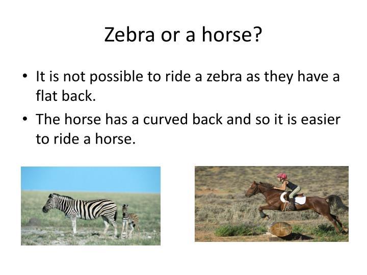 Zebra or a horse?