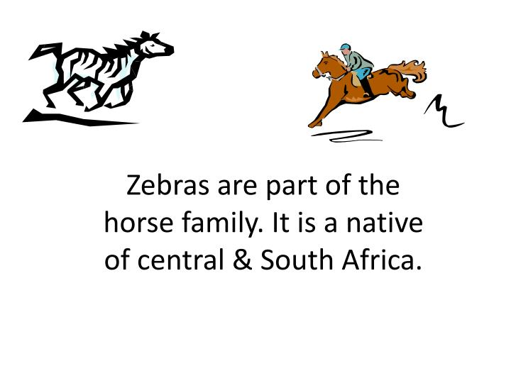 Zebras are part of the horse family it is a native of central south africa