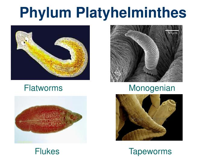 Ppt Phylum Platyhelminthes Powerpoint Presentation Id1784928