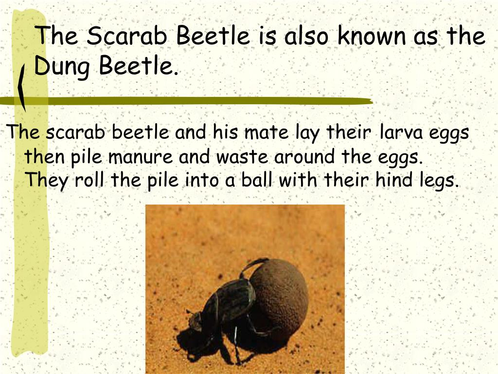 PPT - Don't Be Scared of a Scarab! PowerPoint Presentation