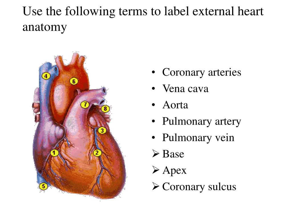 Ppt Use The Following Terms To Label External Heart Anatomy