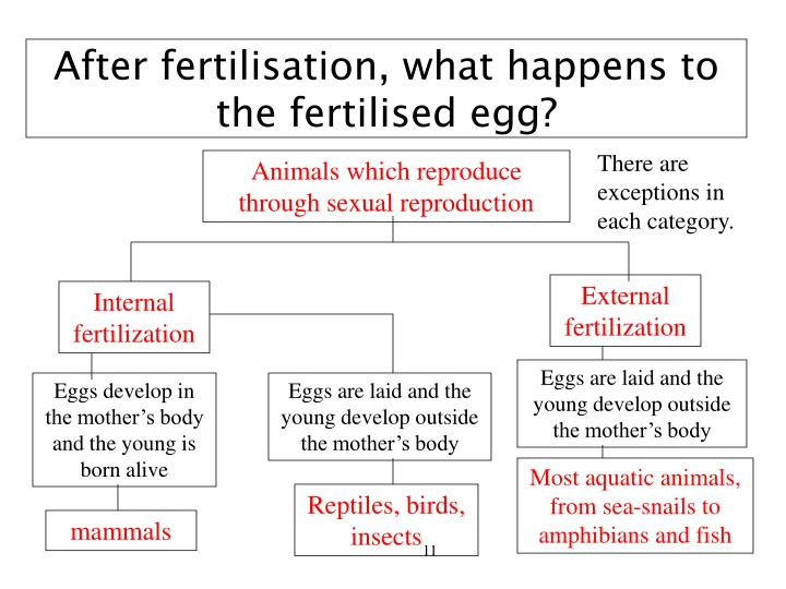 After fertilisation, what happens to the fertilised egg?
