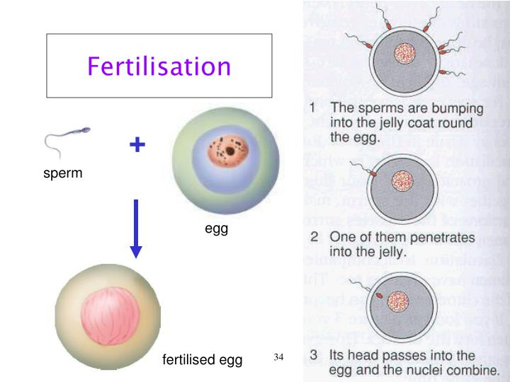Fertilisation