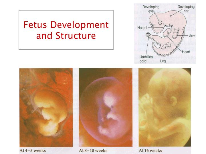 Fetus Development and Structure