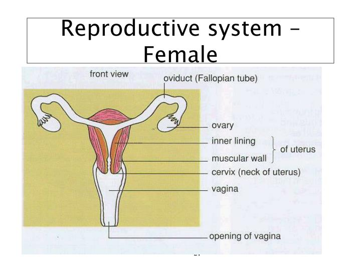 Reproductive system – Female