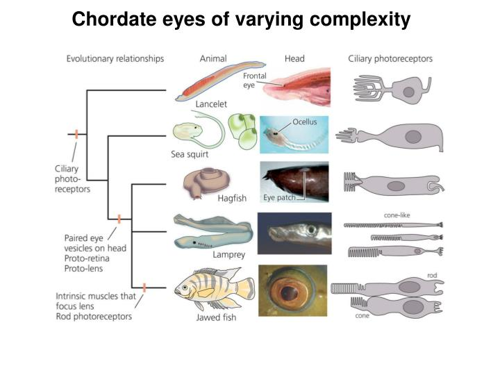 Chordate eyes of varying complexity