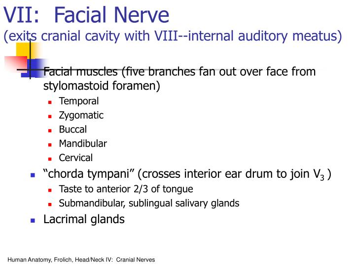 Internal Auditory Meatus Facial Nerve Dissection And Exposure Of