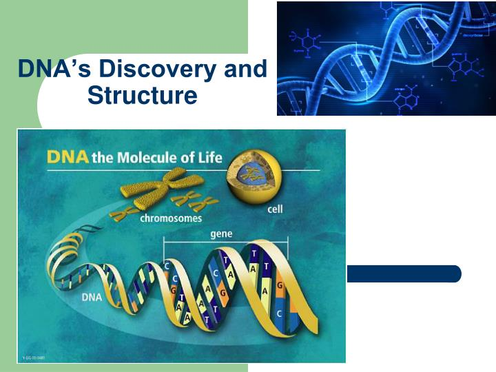 who has discovered the dna structure From the time dna was first identified as a distinct molecule within cells, our understanding of dna has grown as members of the scientific community have built upon each others' findings through further experiments the discovery of dna focused scientists' efforts and led to the research into.