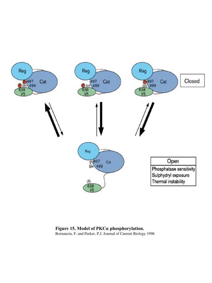 Figure 15. Model of PKCα phosphorylation.