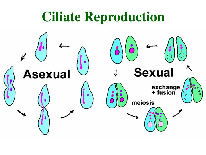 Ciliate Reproduction