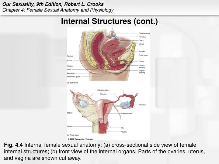PPT - Chapter 4 Female Sexual Anatomy and Physiology PowerPoint ...