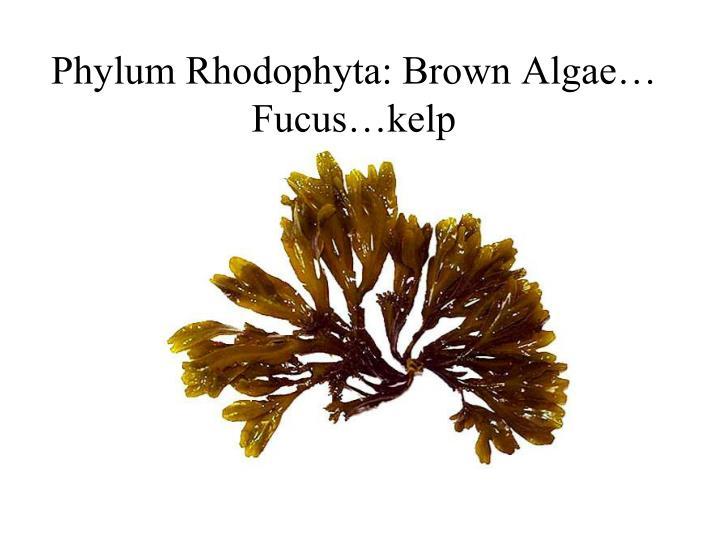 Phylum Rhodophyta: Brown Algae… Fucus…kelp