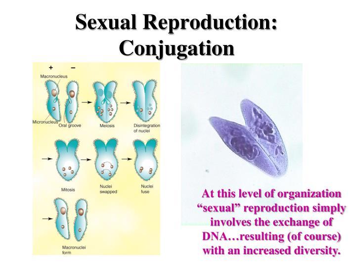 Sexual Reproduction: Conjugation