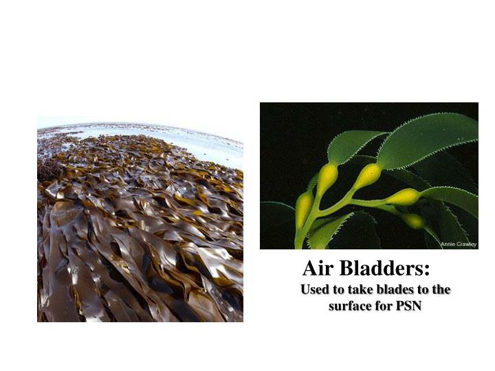 Air Bladders: