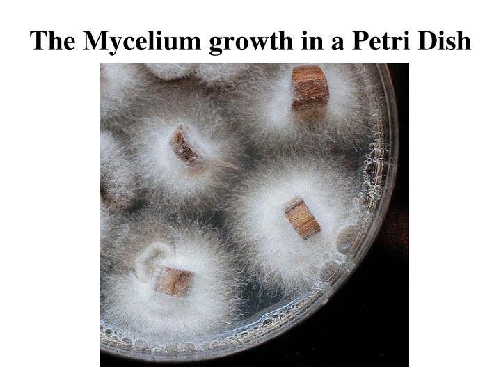 The Mycelium growth in a Petri Dish