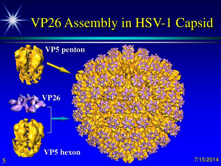 VP26 Assembly in HSV-1 Capsid