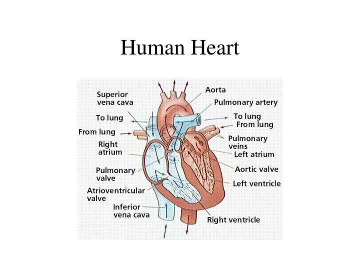 Ppt Human Heart Anatomy Powerpoint Presentation Id1801577