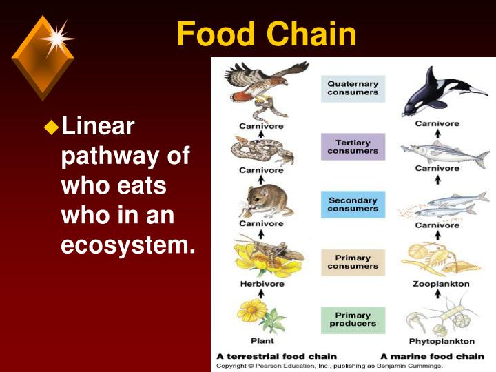 Linear pathway of who eats who in an ecosystem.