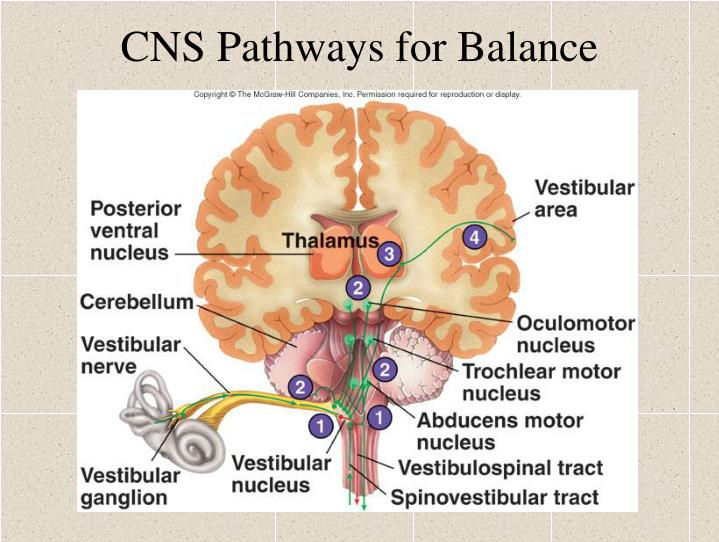 CNS Pathways for Balance