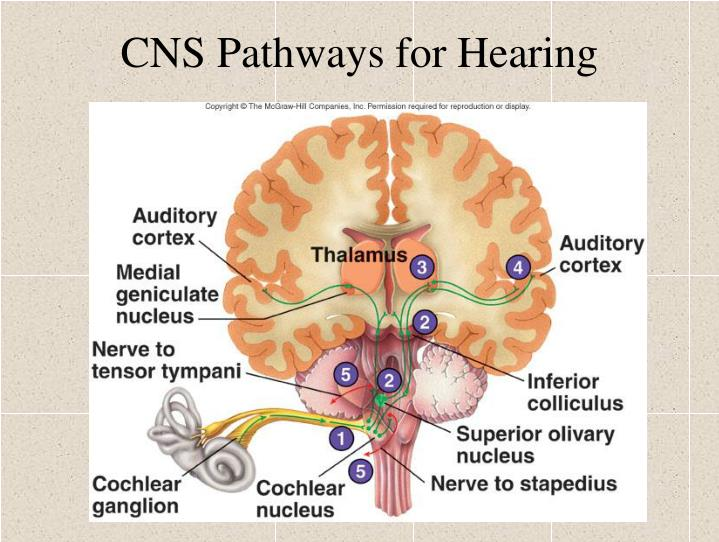 CNS Pathways for Hearing