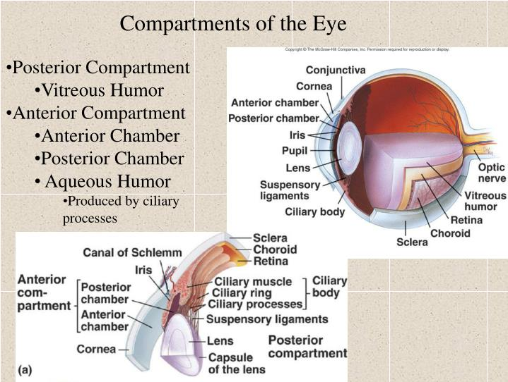Compartments of the Eye