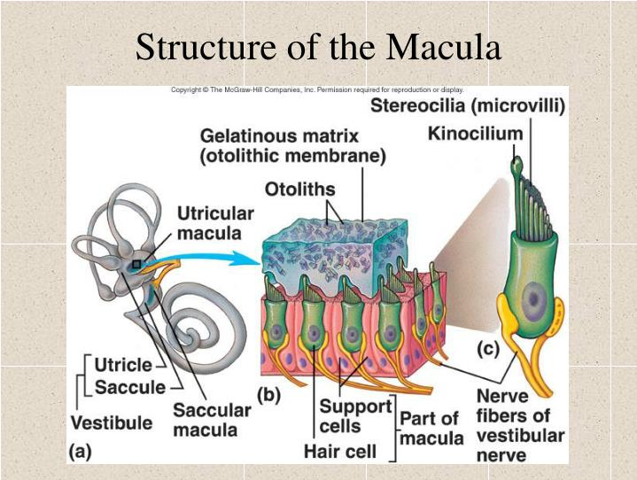 Structure of the Macula