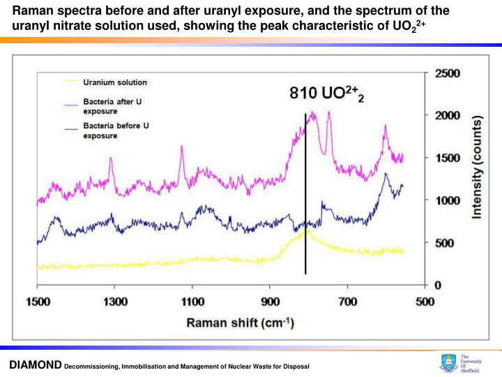 Raman spectra before and after uranyl exposure, and the spectrum of the uranyl nitrate solution used, showing the peak characteristic of UO