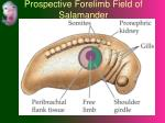 prospective forelimb field of salamander