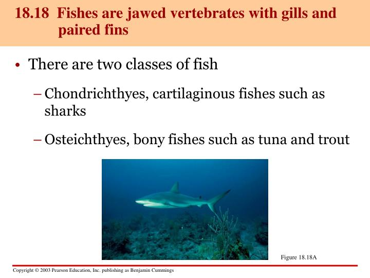 18.18  Fishes are jawed vertebrates with gills and paired fins