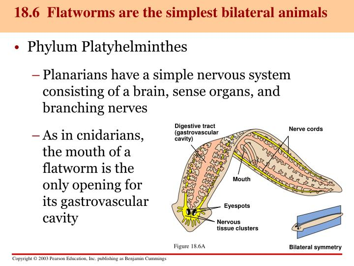 18.6  Flatworms are the simplest bilateral animals