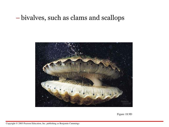 bivalves, such as clams and scallops