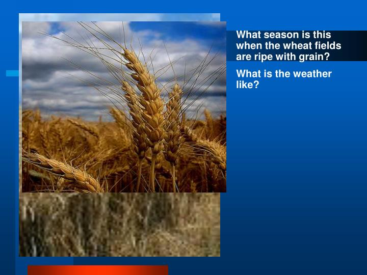 What season is this when the wheat fields are ripe with grain?