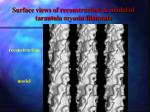 surface views of reconstruction model of tarantula myosin filaments