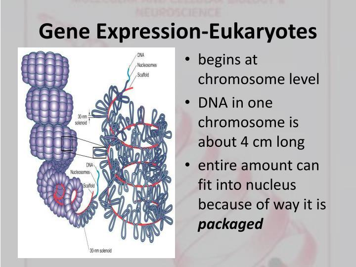 Gene Expression-Eukaryotes