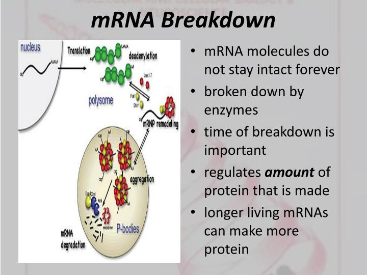 mRNA Breakdown