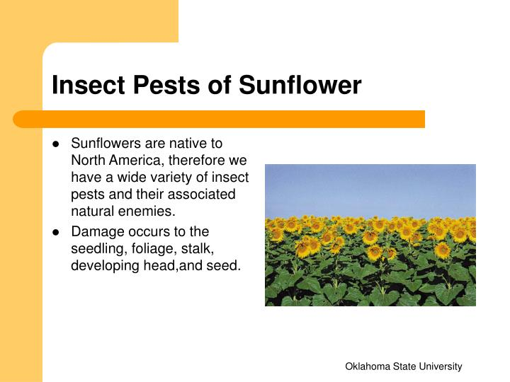 Insect Pests of Sunflower