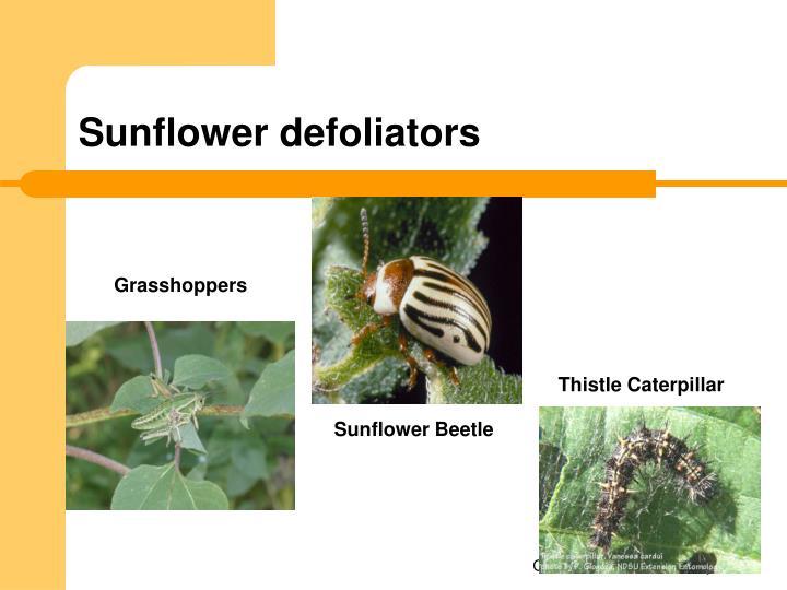 Sunflower defoliators