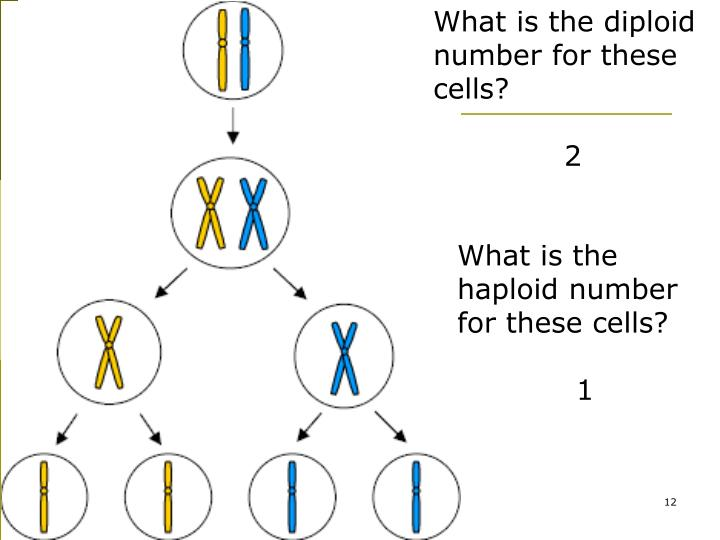 What is the diploid number for these cells?