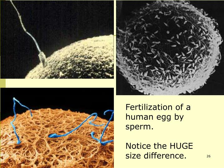 Fertilization of a human egg by sperm.