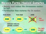 meiosis forms haploid gametes