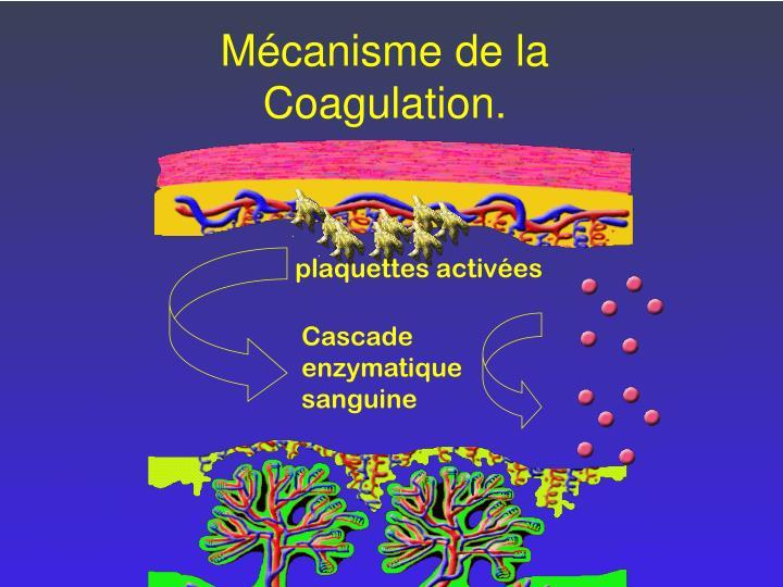 Cascade enzymatique sanguine