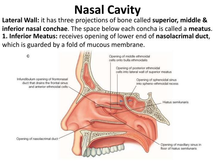 PPT - Nasal Cavity & Paranasal sinuses PowerPoint ... Inferior Meatus Drains Into