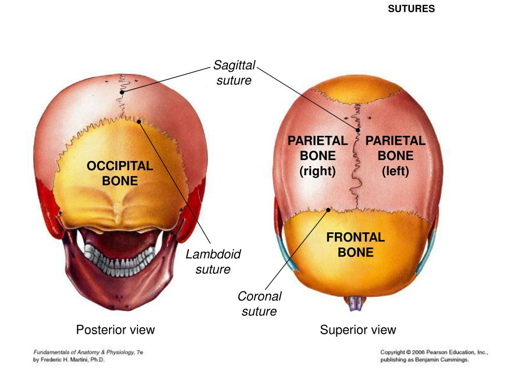 sagittal suture definition - HD1024×768
