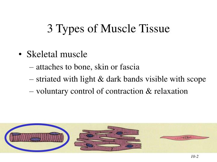 3 types of muscle tissue