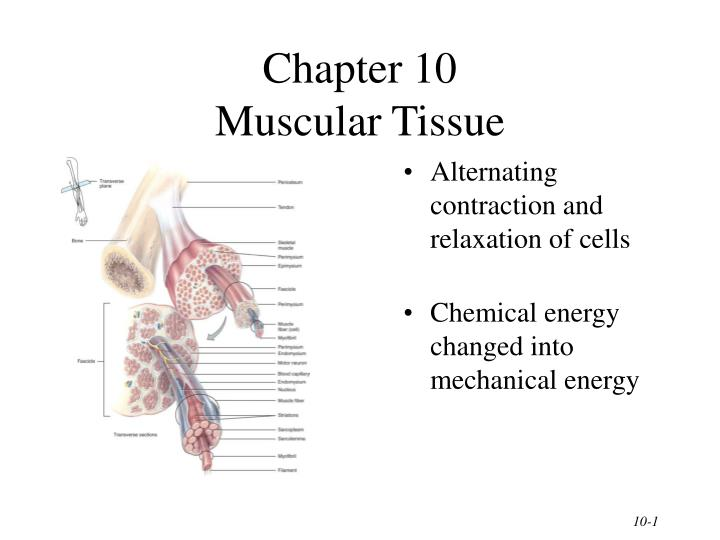 Chapter 10 muscular tissue