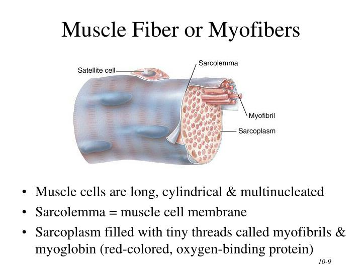 Muscle Fiber or Myofibers