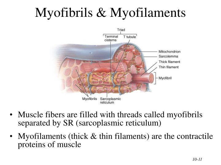 Myofibrils & Myofilaments
